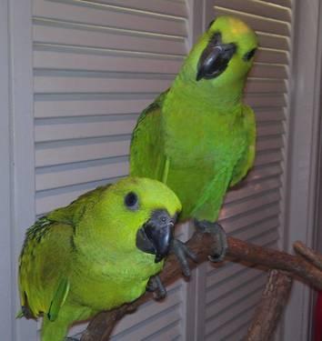 Blue-Fronted Amazon Parrot Bird Species Profile