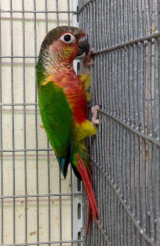 Yellow-Sided Green-Cheeked Conure Breeding Pair