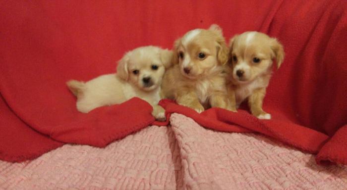 Yo-Chon (Yorkie,Bichon mix) puppies 8 wks old