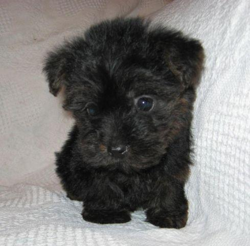Feist Poodle Mix Classifieds Buy Sell Feist Poodle Mix Across