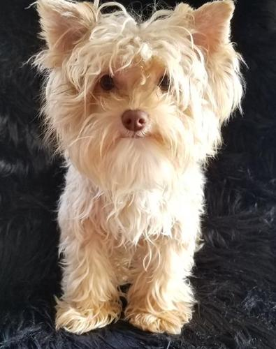 Yorki Poo Puppy for Sale - Adoption, Rescue