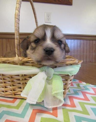 Yorki Poo Puppy For Sale Adoption Rescue For Sale In Denver