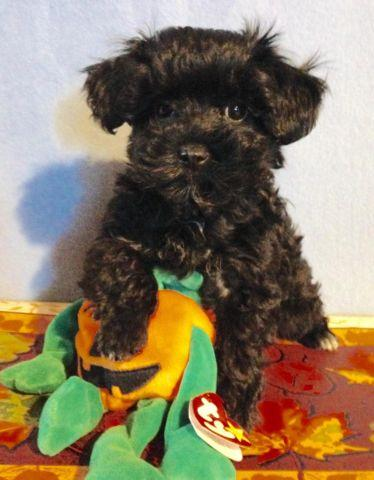 Yorkie- poo male Tiny and Adorable