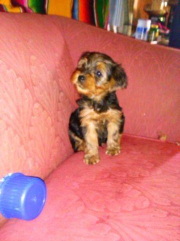 Yorkie 1 male puppy ready for Christmas will be larger