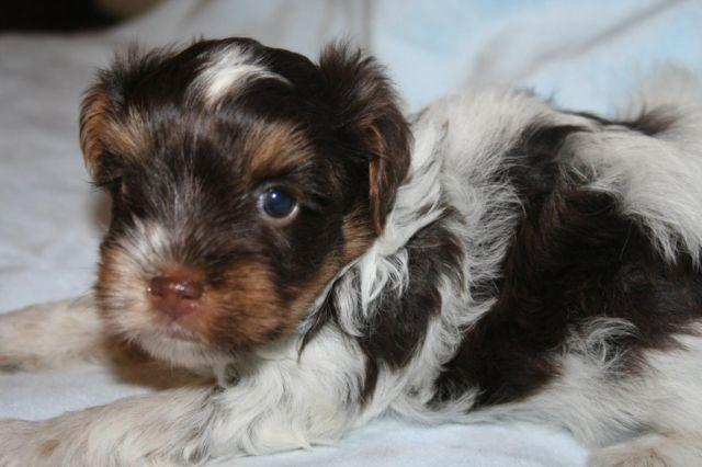 Yorkie - Akc Chocolate Parti Yorkie, Male For Sale In -7897