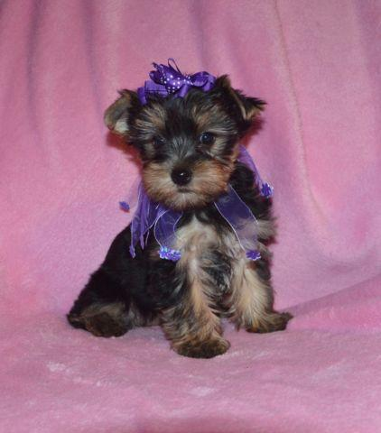 Yorkie AKC female pet priced $800. hlth guar, shots,