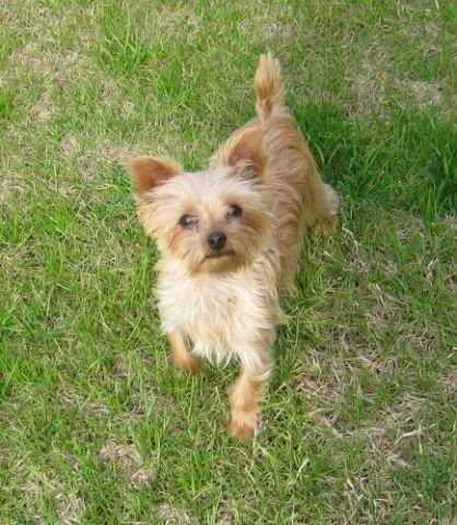 Golden Yorkie Puppy Texas | Dog Breeds Picture