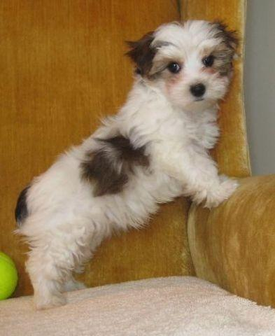 Yorkie Akc Parti Colored Male White Brown And Gold For