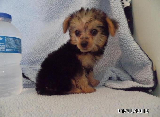 Yorkie For Sale In Magee Mississippi Classified Americanlistedcom