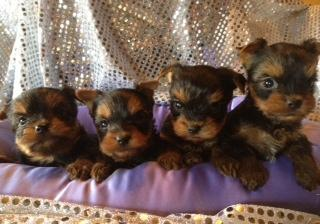 Yorkie angels to love;)