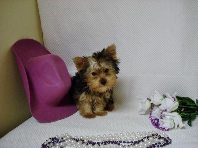 Yorkie ''Baby-Girl'' for Sale in Tifton, Georgia ...