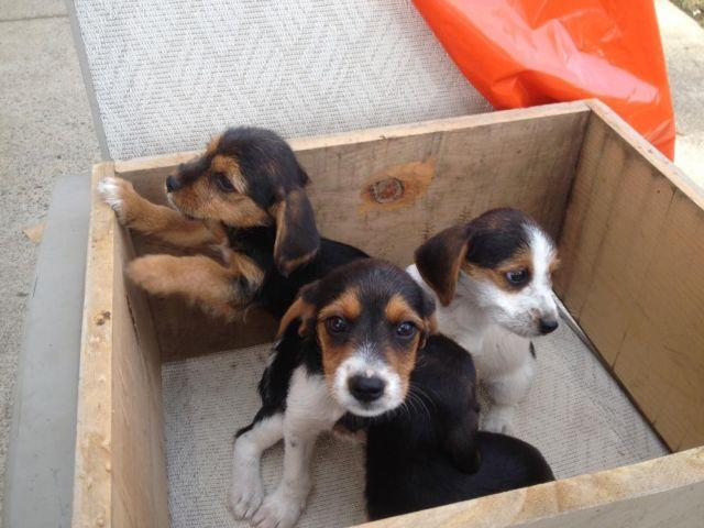 Yorkie Beagle Puppies For Sale In Citrus Heights California