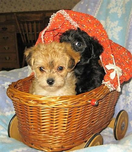 Yorkie Bichon Cross Puppies 3 Tiny Girls Ready To Go For Sale In