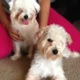 Yorkie Bichon Mix Young Pups Housebroken And Spayed For Sale In