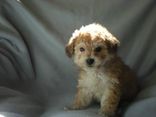 Yorkie Bichon Yochon Puppies For Sale In Loveland Ohio Classified