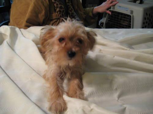 yorkie bischon puppy 6 months old