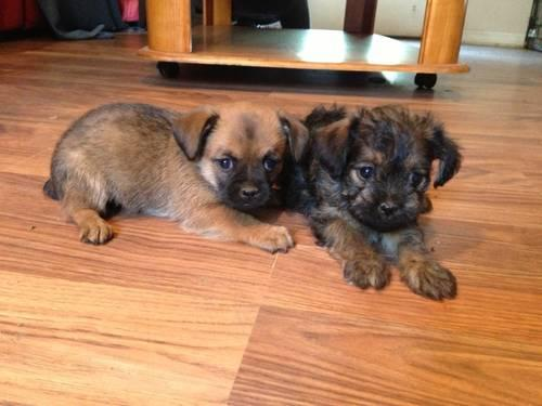 Brussels Mix Puppy For Sale In California Classifieds Buy And Sell