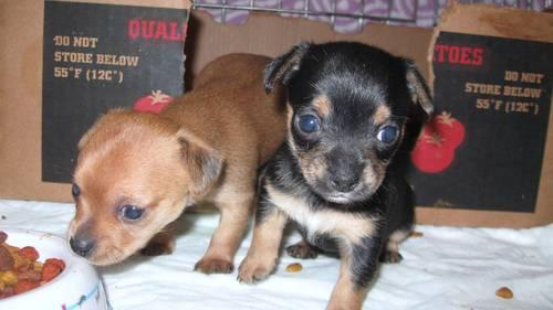chihuahua puppies for sale in nc yorkie chihuahua chorkies puppies for sale in guthrie 5484