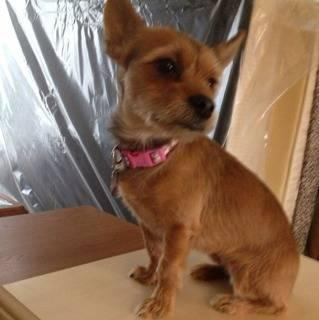 yorkie chihuahua mix for sale yorkie chihuahua mix for sale in orange city florida 4170
