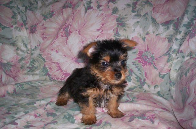 yorkie chihuahua mix for sale yorkie chihuahua mix pup for sale in louisburg north 2834