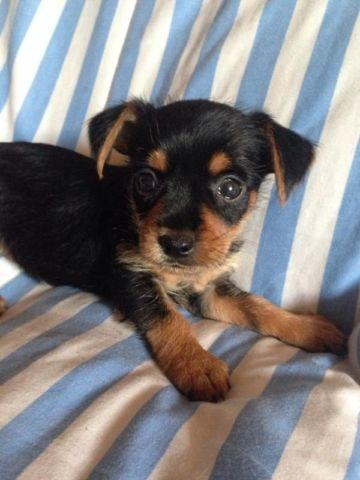 Yorkie Chihuahua Pets And Animals For Sale In The Usa Puppy And