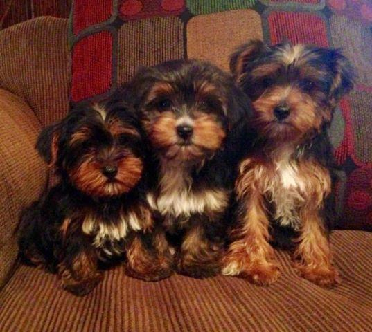 yorkie puppies for sale sacramento ca yorkie chihuahua puppies 9 weeks old for sale in 7698
