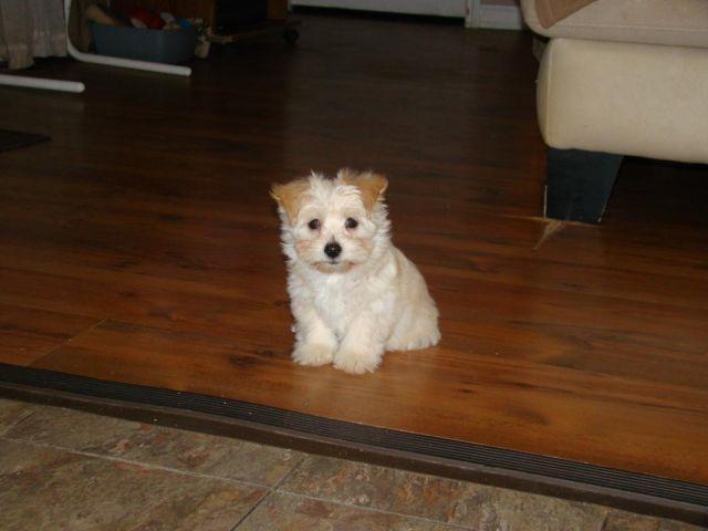 yorkie coton de tulear puppies for sale in san marcos texas