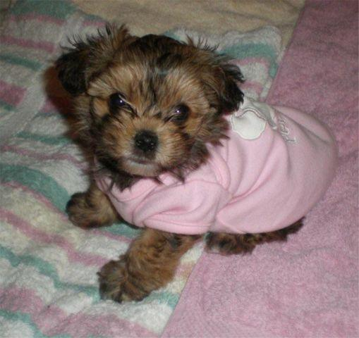 Yorkie Dachshund Mix Puppies Pets And Animals For Sale In The Usa