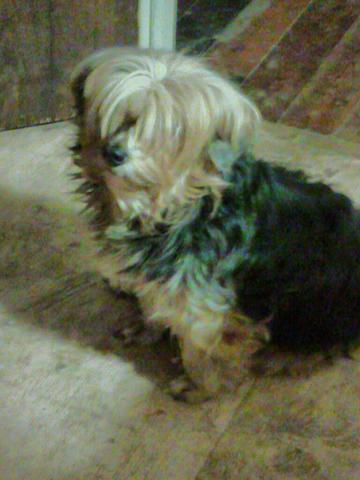 yorkie female. about 4 yrs old