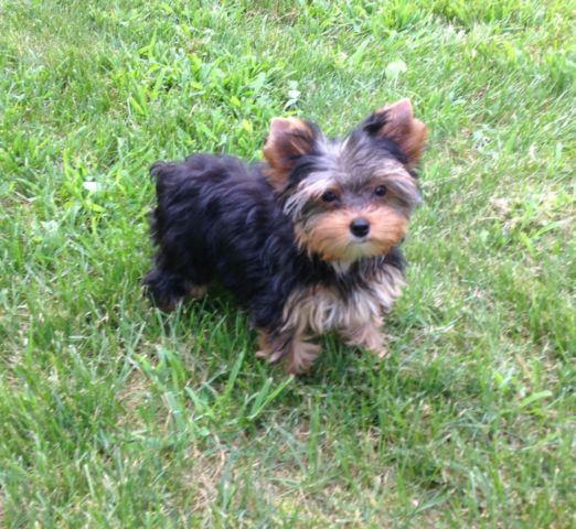 yorkie puppies for sale indianapolis yorkie female for sale in indianapolis indiana classified 3999