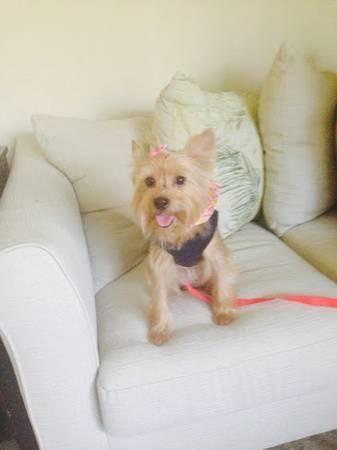 Yorkie Female Silky 1 1/2 year old (South Lakeland)