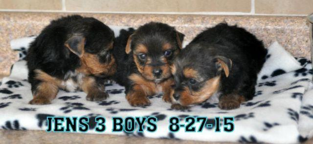 yorkie male puppy for Sale in Milner, Georgia Classified