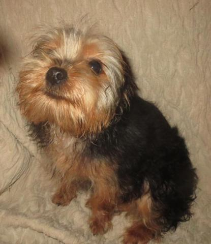 Yorkie Male Puppy (purebred & registered)