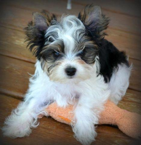 yorkie males for sale in le roy minnesota classified