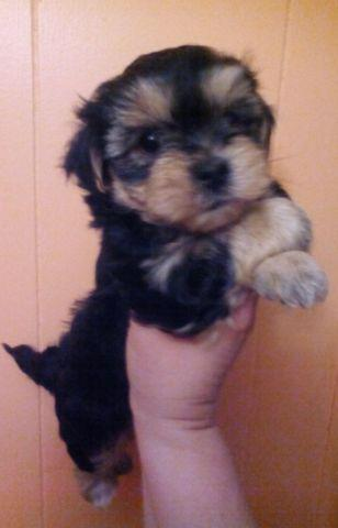 yorkie mix for sale yorkie maltese mix puppies for sale in bonney lake 8433