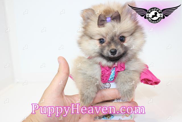 Yorkie - Maltese - Pomeranian - Maltipoo - Poodle - Shih-Tzu & more