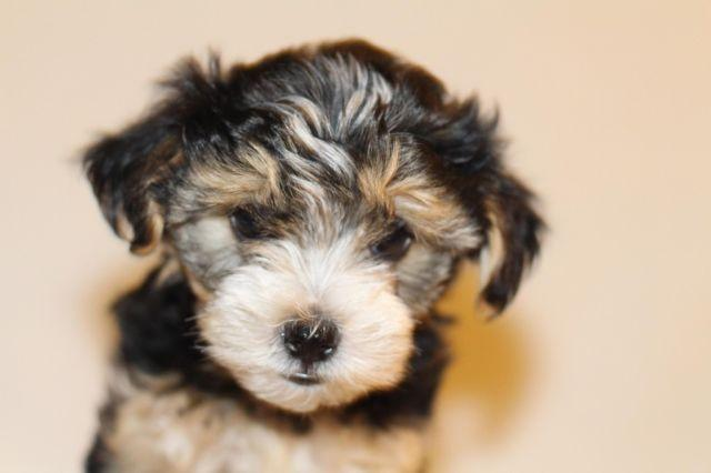 shih tzu puppies for sale in sacramento yorkie mix maltese shih tzu for sale in sacramento 7954