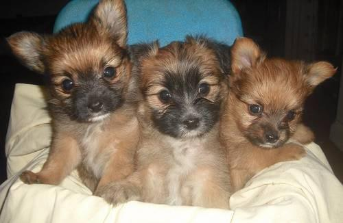 Yorkie Pom Aka Porkie Or Yoranian Puppies Tiny