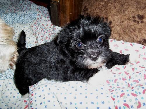 Pomeranian Mixed With Yorkie Black Yorkie-Pomeranian mix ...
