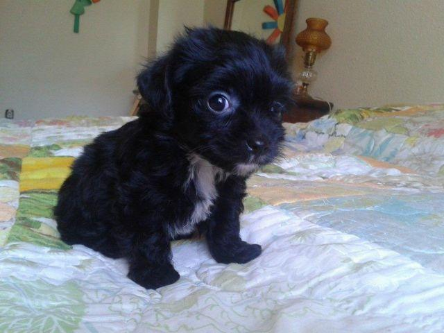 Yorkie Poo Female Ready Just in time for Mothers Day