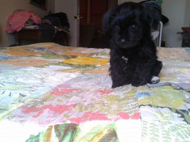Yorkie Poo Female SOLD Pending Pick Up on Monday!