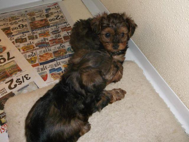 Yorkie Poo For Sale In Missouri Classifieds Buy And Sell In