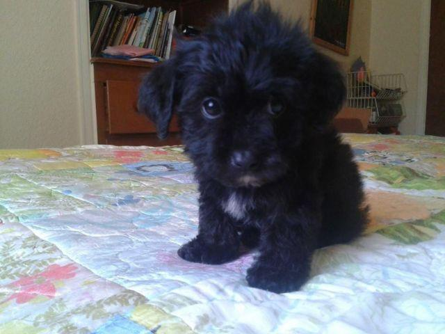 Yorkie Poo Male ONLY ONE LEFT NOT SPOKEN FOR
