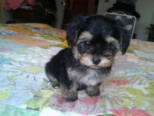 Yorkie Poo Male Updated pics
