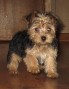 yorkie mixed puppies for sale mn yorkie poo puppies for sale in janesville minnesota 2820