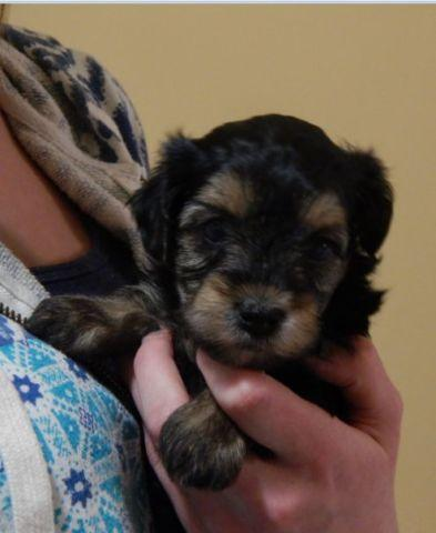yorkie breeders washington state yorkie poo puppies for sale in four corners washington 2270