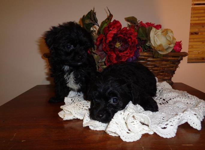 Yorkie-Poo Puppies