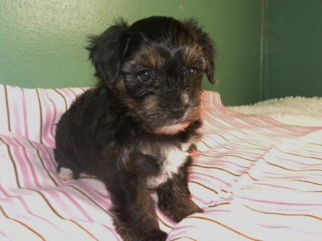 Yorkie Poo Puppies For Sale For Sale In Lynchburg Virginia