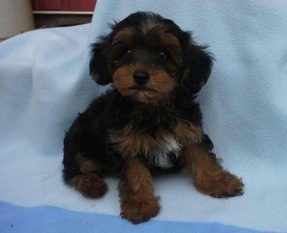 Yorkie Puppies For Sale In Ohio Classifieds Buy And Sell In Ohio