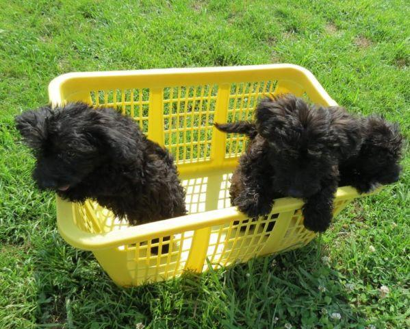 yorkie poo for sale